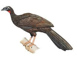 White browed Guan