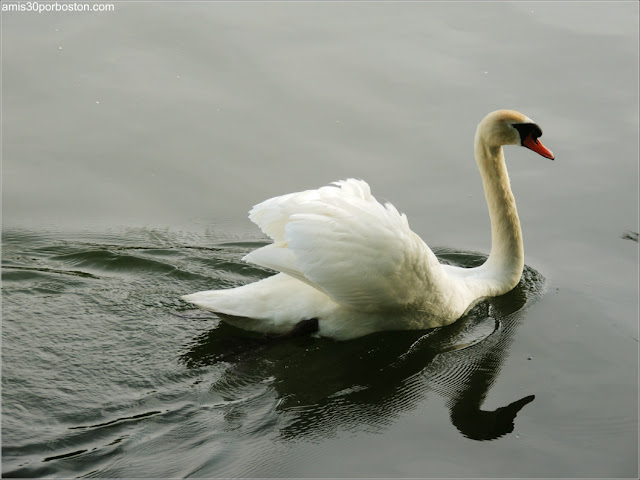 Cisne en las Islas de Toronto