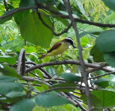 Great Kiskadee (Pitangus sulphuratus)
