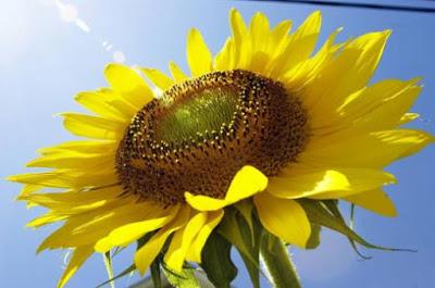 Para que girassóis jovens seguem o sol?