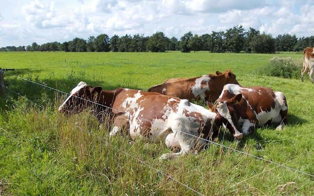 Foto Roodbonte Friese koeien