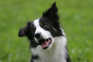 Border Collie intelligence
