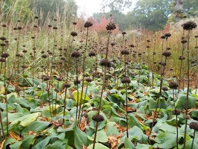 Phlomis Winter interest Cutting back perennials Green Fingered Blog