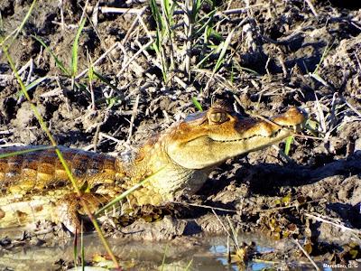 Olhos Jacaretinga, Caiman crocodilus, Jacaretinga,  Alligator, répteis, animais, fauna brasileira, fotos de jacarés, jacaré, crocodilos, animal, Tocantins