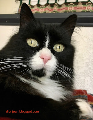Maggie the cat with tuxedo markings