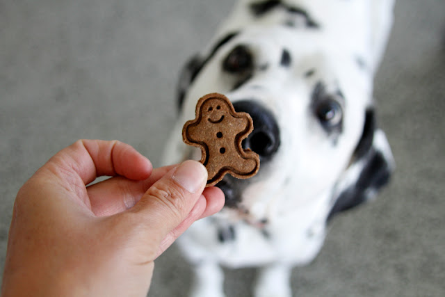 Dalmatian dog sniffing a gingerbread man shaped dog treat