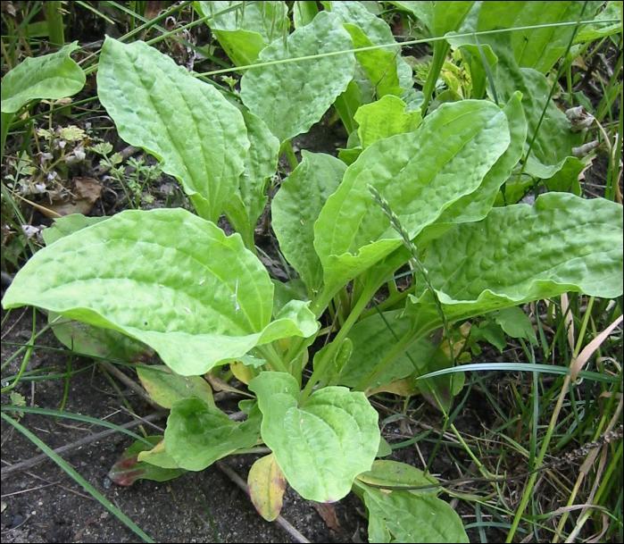 Desde las gavetas de mi escritorio plantas medicinales y for Manzanilla planta medicinal para que sirve