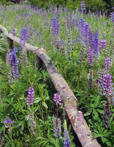 Tuinblog | Tuinatelier Herman & Vermeulen : Lupine