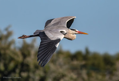 Grey Heron with breeding plumage captured in the Table Bay Nature Reserve