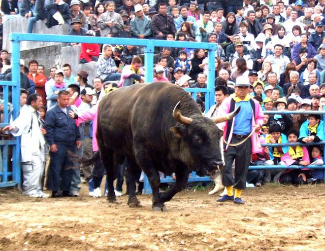 Bullfighting at Tokunoshima in Amami Island, Kagoshima Pref.
