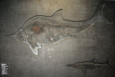 Ichthyosaurs (fish lizards) were aquatic creatures that lived in dinosaur times. Evolutionists cannot provide evidence for their history, and their fossils testify of the Genesis Flood.