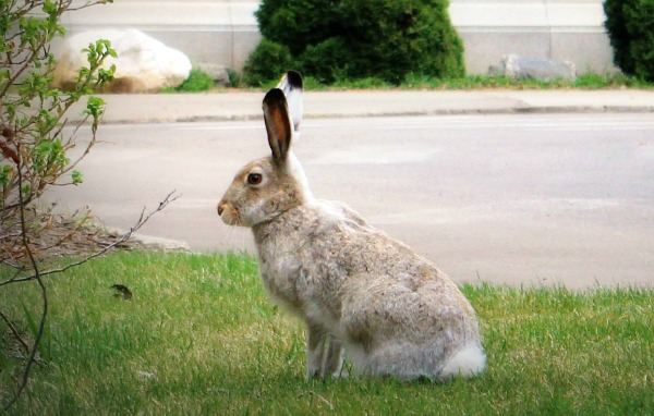The not so elusive University of Alberta Jackrabbit