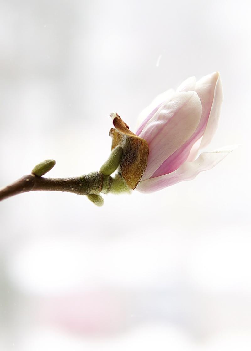 Kevätkukkia, kukkiva puu