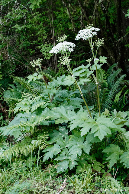 Common Cow Parsnip