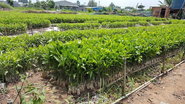 Sau 3 năm trồng tràm là có thể thu hoạch để làm bột giấy, sau 6 năm có thể thu hoạch cây lấy gỗ