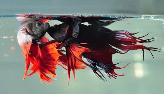 Wow! Inilah 9 Jenis Ikan Hias Air Tawar Aquarium yang Mudah di Pelihara