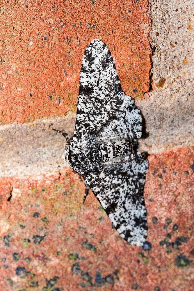 Peppered Moth (1 of 2) - Great Holm, Milton Keynes