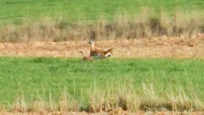 Avutarda, Otis tarda, reproducción, pareja, ZEPA 139, Estepas cerealistas ríos Jarama y Henares, Valdetorres del Jarama, marzo 2017