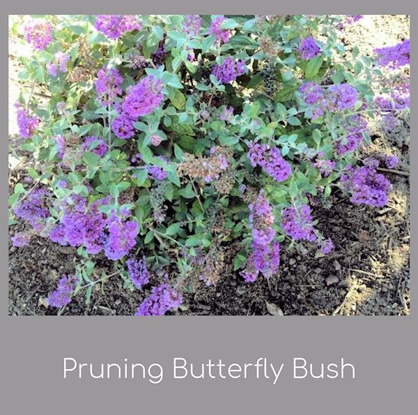 A Guide To Northeastern Gardening Pruning Buddleia Butterfly Bush
