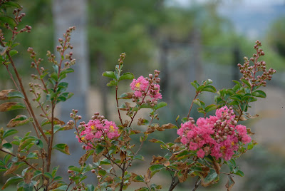 close up of crepe myrtle
