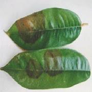 Nấm lá sầu riêng Phytophthora palmivora
