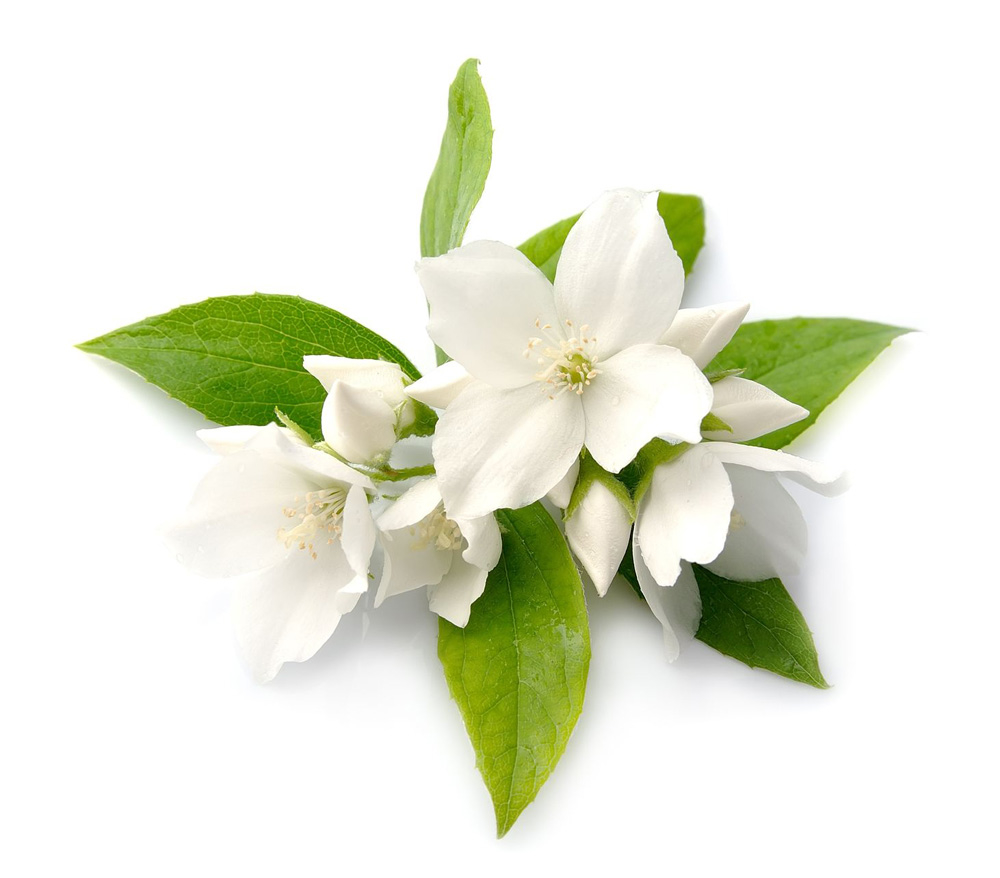 Galery beautiful jasmine flowers picture wedding izmirmasajfo