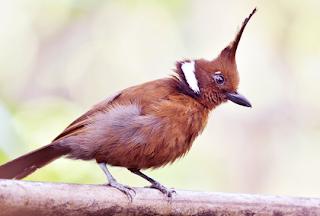 Download Suara Burung Cililin Ngerol Panjang Untuk Masteran