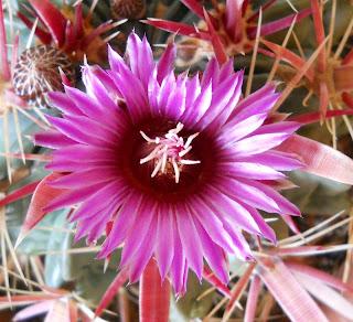 flor del cactus Ferocactus latispinus
