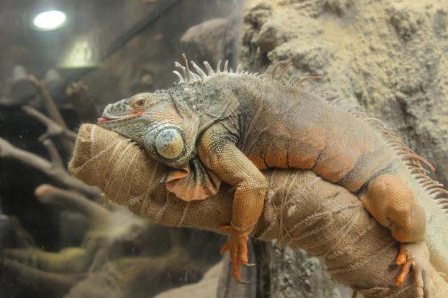 ハダカデバネズミや歩く植物??上野動物園で見逃せないなおすすめ動物8つ【n】 爬虫類館 イグアナ