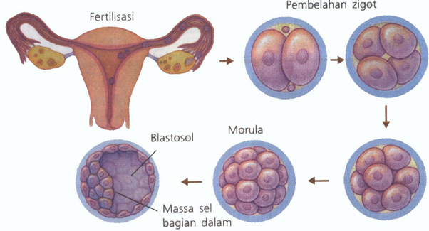 Adanya kesamaan perkembangan embrio hewan bersel banyak, yaitu pada tahap : zygot – morula – blastula – gastrula à deferensiasi