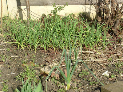 A small garden bed with garlic plants growing strongly, and two leeks in the foreground