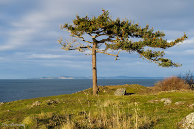 Douglas Fir on Rosario Head
