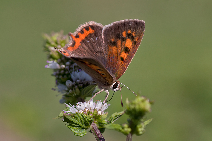 Mint – Attracting Insects at Home