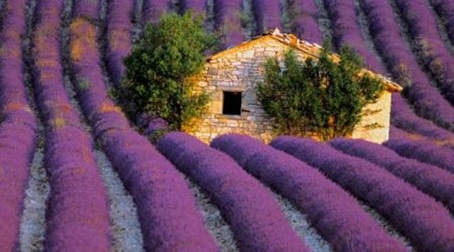 cánh đồng hoa oải hương đẹp nhất thế giới 12