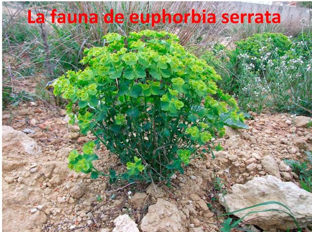 Fauna de euphorbia serrata