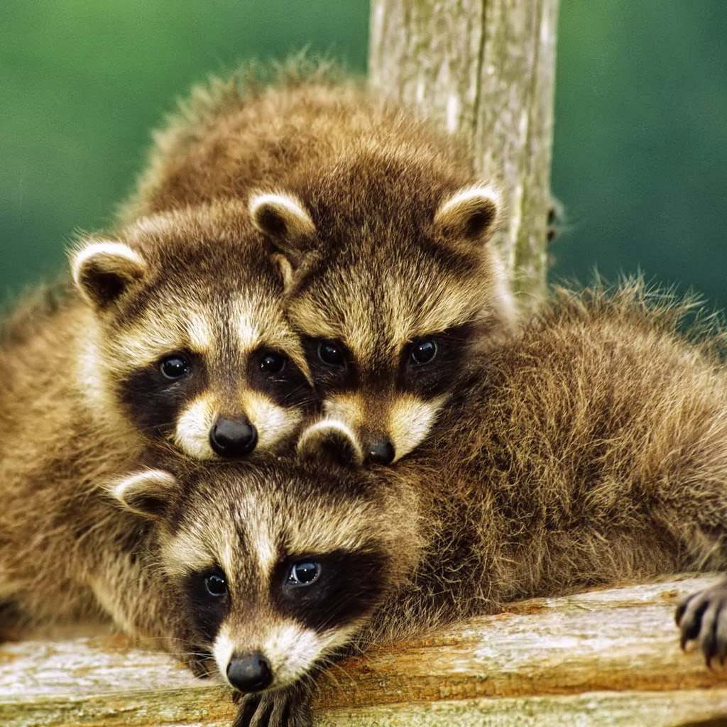 Funny Animal Raccoons | Latest Information & Pictures ...