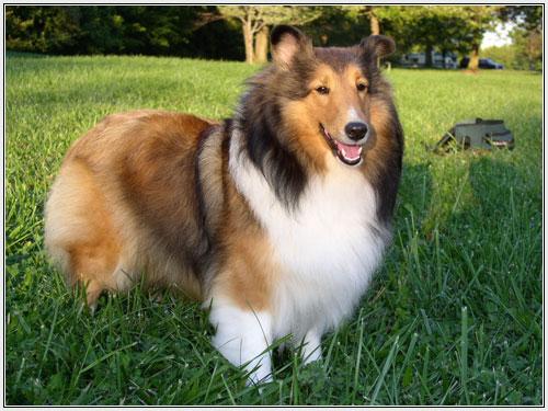 http://4.bp.blogspot.com/-ktkWxNTZzQM/ULCyRV2dQQI/AAAAAAAABpQ/kBy5DcjDGsc/s1600/sheltie-pup.jpg