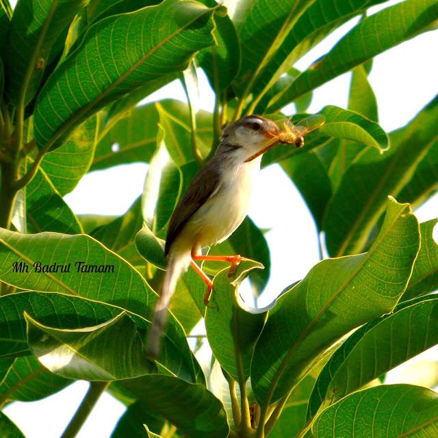 Bagian tubuh sisi atas berwarna coklat keabu Ciri-ciri dan Klasifikasi Burung Perenjak Padi