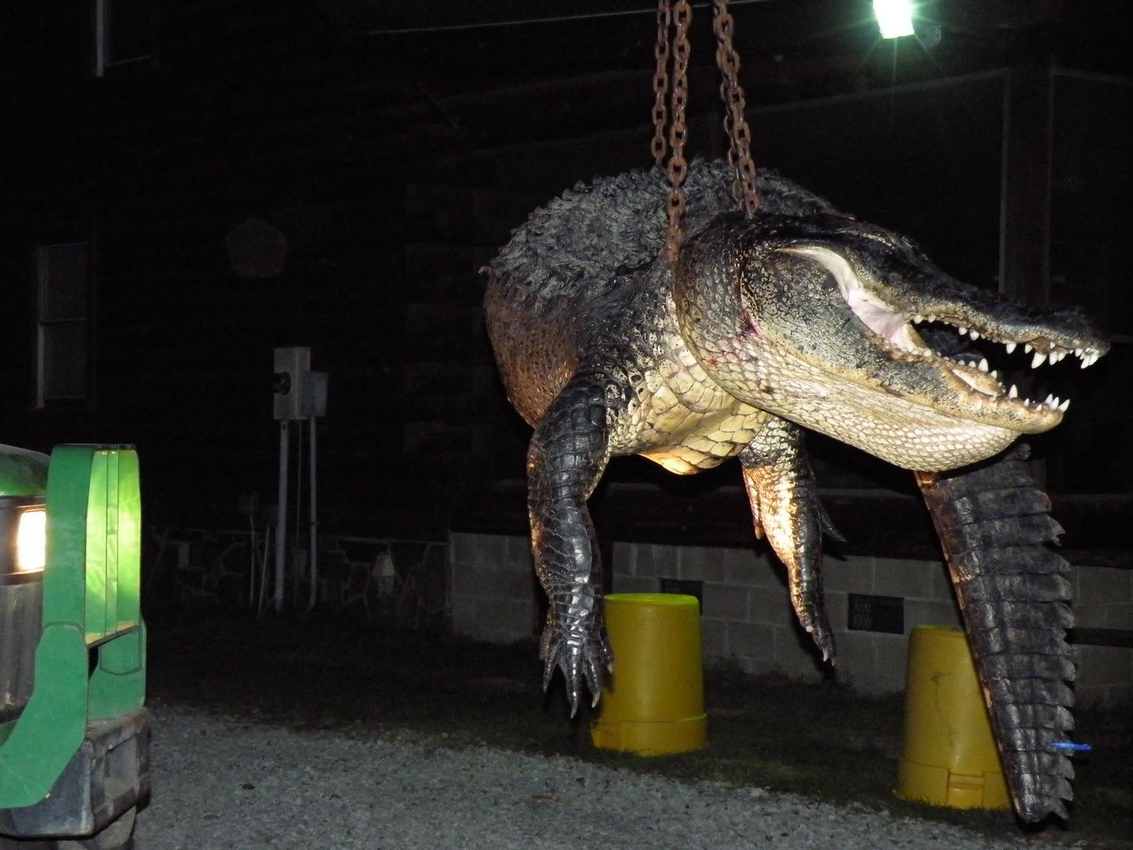 Cordray's: Stanton Gragg brought in a big bull gator!