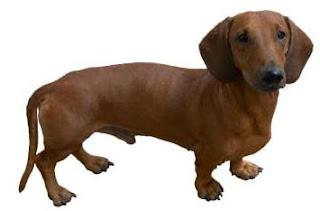 razas de perro pequeño dachshund