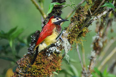 Crimson mantled Woodpecker