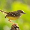 Harga Burung Ciblek Terbaru 2018
