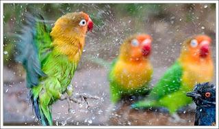 Burung lovebird sedang mandi