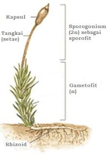 struktur lumut daun