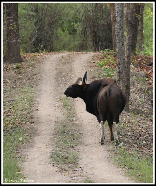 Muscular Bison at Kanha national Park