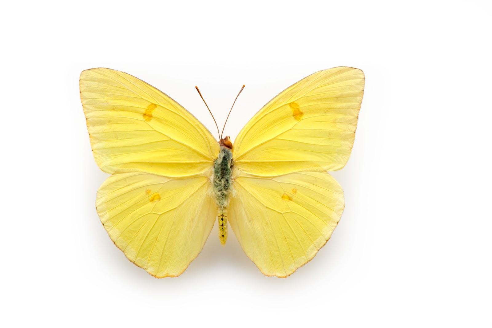 Clouded Sulphur |Clouded Sulphur Butterfly