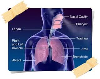 Bio bLOg: Sistem Pernapasan Manusia