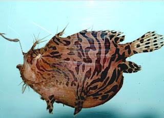 Selain angler fish, ikan sungut ganda juga dikenal dengan banyak beberapa nama, diantaranya ikan Lophiiformes , Monkfish, dan Goosefish.