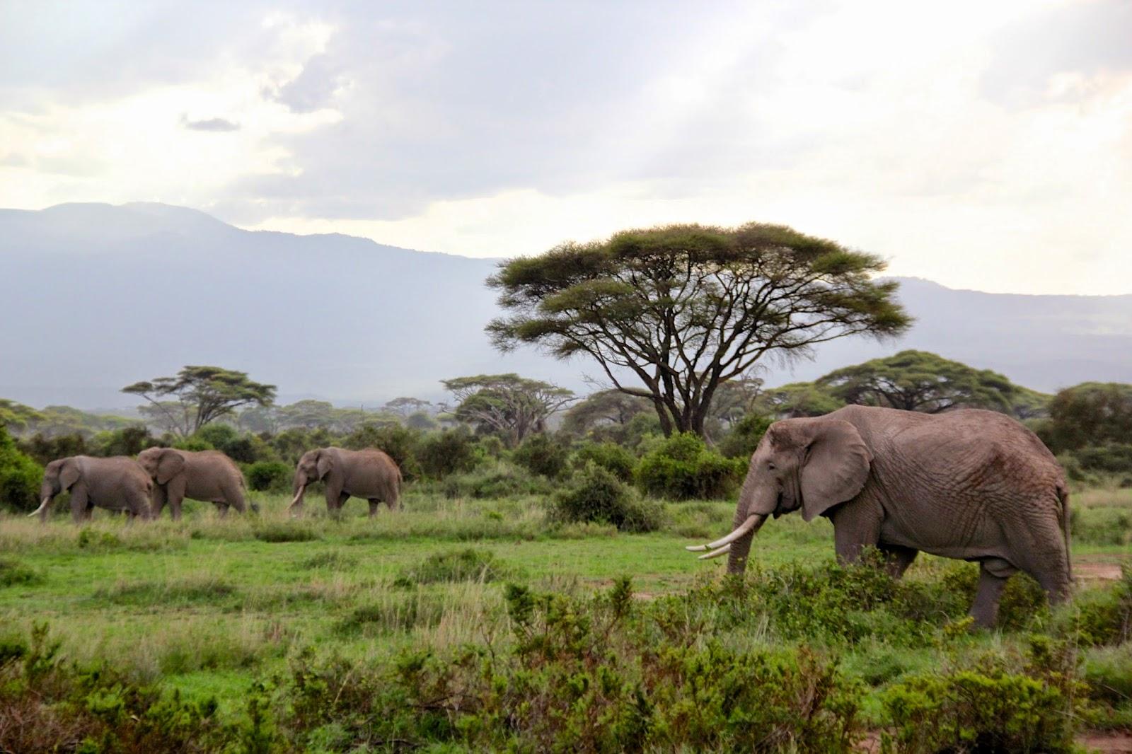 kampf löwen gegen büffel