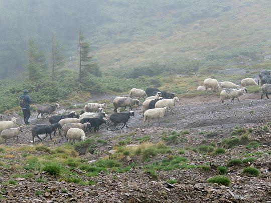 Stadko owiec.